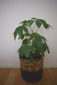 Schefflera Amate - Vingerplant